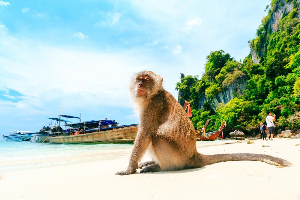 Thông thường, những người đi tour hay thuê tàu riêng đều không bỏ qua trải nghiệm khám phá bãi Khỉ. Đúng như tên gọi, hòn đảo này có rất nhiều khỉ và ngay khi đặt chân lên bờ, bạn đã có thể thấy chúng ở khắp nơi. Lời khuyên dành cho du khách là hạn chế cầm đồ đạc trên tay bởi lũ khỉ nghịch ngợm sẽ giật lấy bất cứ thứ gì làm chúng thích thú. Trên đảo này không có nhiều địa điểm để tham quan nên các tàu thường chỉ dừng hơn 15 phút ở đây trước khi đi chỗ khác. Ảnh: Shutterstock.