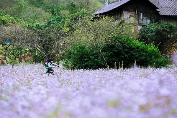 Cánh đồng hoa dại tím biếc. Ảnh: An Nghiem Xuan