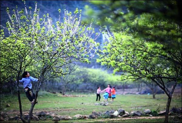 Mùa hoa mận với những chồi lá non xanh biếc. - Ảnh: MocChautourism.com