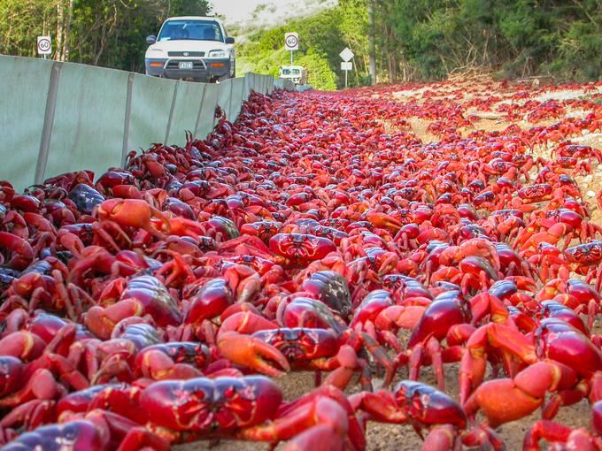 """Thời điểm cuối tháng 10 đánh dấu mùa mưa bắt đầu trên hòn đảo, cũng là mùa sinh sản của gần 50 triệu con cua đỏ bắt đầu. Hành trình cua từ rừng sâu ra bờ biển để đẻ trứng có thể kéo dài 18 ngày. Đàn cua như những """"dòng suối đỏ"""" bao phủ bề mặt hòn đảo, chảy qua mọi chướng ngại vật chúng gặp phải trên đường đi. Ảnh: Max Orchard."""