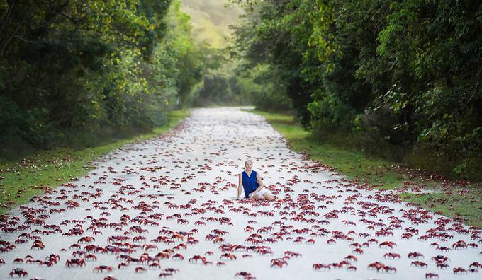 Khách du lịch ví cảnh tượng hàng triệu con cua băng qua đường như những tấm thảm màu đỏ biết di chuyển. Margaret Watts, nhà khoa học Australia đến hòn đảo hàng năm để du lịch và nghiên cứu, cảm thấy cuộc di cư này rất hấp dẫn. Cô thắc mắc về cách những con cua sống trong rừng biết khi nào có thủy triều thích hợp để tìm đến bờ biển. Margaret cho biết những con cua bị nghiền nát trên đường bốc ra thứ mùi khá tệ. Cũng giống như Zainal, cô phải đóng kín cửa để tránh phiền toái vì những con cua tìm kiếm thức ăn hoặc chết trong nhà mình. Ảnh: Christmas Island.
