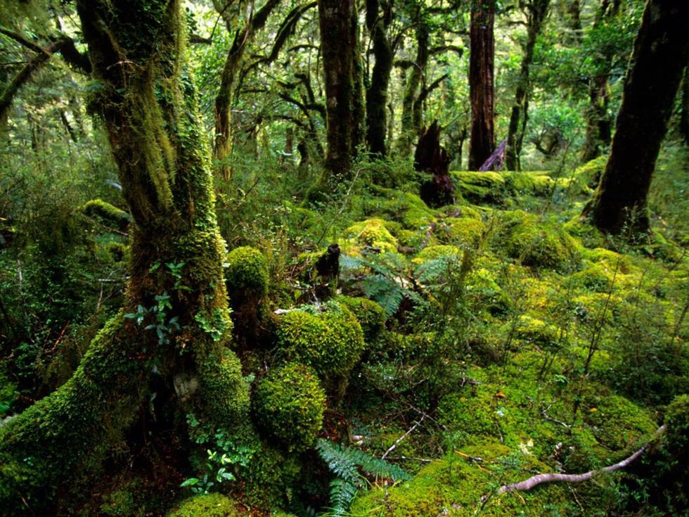 Công viên quốc gia Fiordland thu hút du khách nhờ vẻ nguyên sinh huyền bí với những con đường mòn phủ đầy rêu và dương xỉ, gợi nhớ những khu rừng kỳ bí của tác giả J. R. R. Tolkien - Ảnh: Annie Griffiths