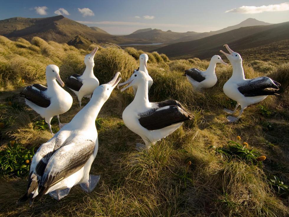Những chú hải âu tinh nghịch đùa giỡn trên đảo Campbell. Sau khi những chú chim trống trình diễn, đến lượt các cô nàng hải âu mái xoải những đôi cánh dài thon thả điệu đà. Đây là lúc chúng tìm bạn tình để kết đôi - Ảnh: Frans Lanting