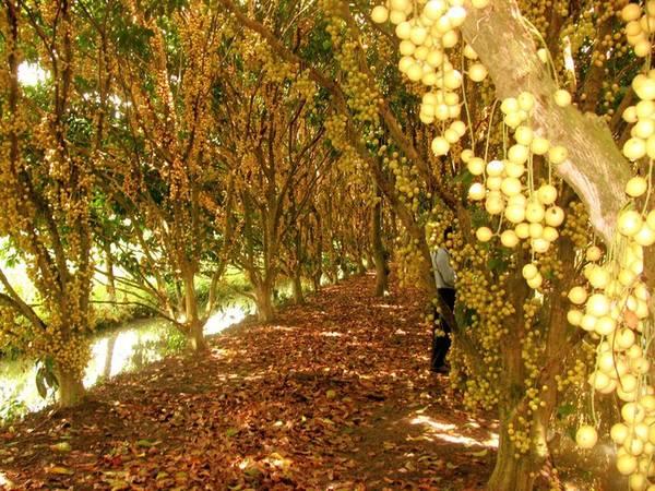"""Tới Cần Thơ du khách sẽ có cơ hội đi qua những """"con đường dâu"""" như thế này. Ảnh: mekongdeltaexplorer.com"""