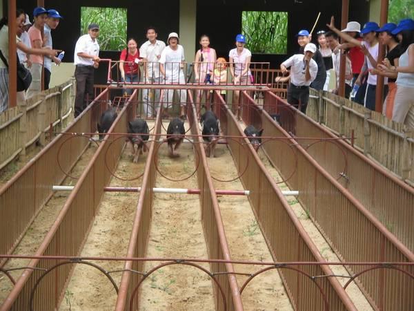Xem đua heo ở làng du lịch sinh thái Mỹ Khánh. Ảnh: ST